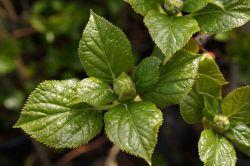 - Hydrangea anomala - hortensja pnąca