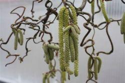 - Corylus avellana (leszczyna pospolita) - Contorta