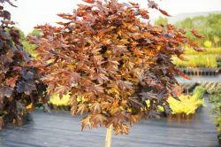 - Acer platanoides - klon pospolity