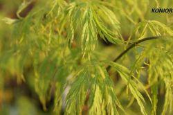 - Acer palmatum - klon palmowy