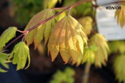 - Acer shirasawanum - klon shirasowy