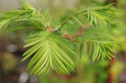 - Metasequoia glyptostroboides (metasekwoja chińska)
